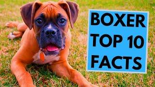 Boxer Dog Breed - TOP 10 Interesting Facts