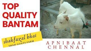 Top Quality Bantam 10 month For Sale  #shahfazal bhai 9892908992