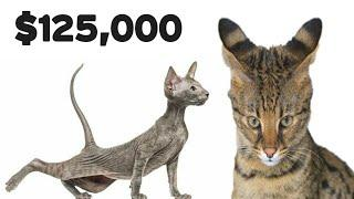 Top 10 Most Expensive Cats Breeds In The World 2020