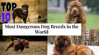 Top 10 Most Dangerous Dog Breeds in the World   10 Top Information
