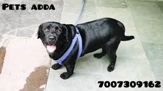 champion line top quality Labrador 10 month old, NOT FOR SALE ||pets adda||