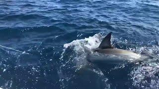 Fishing group reels in massive great white shark off Fort Lauderdale