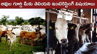 Interesting Facts About Cows | Facts About Animals Telugu