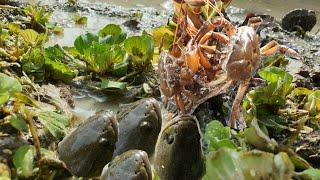 Best Fishing With Many Crabs | Catch Big Snakehead Fish . O My God..