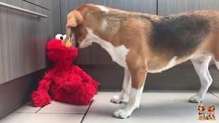 Funny Beagles vs ELMO : Beagle Universe