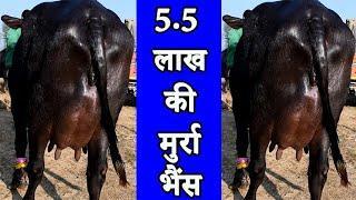 5.5 लाख की मुर्रा भैंस l Top quality Murrah Buffalo at Kurali Mandi Punjab