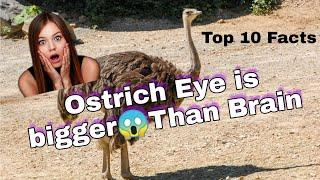 Ostrich Eye is bigger than their brains