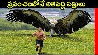 ప్రపంచంలోనే అతిపెద్ద పక్షులు Top 5 Largest and Heaviest Living Birds in The World in Telugu