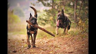 TOP 10 MOST DANGEROUS AND POWERFUL Dog Breeds in the world 2020