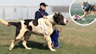 These Are 10 Best Livestock Guardian Dog Breeds