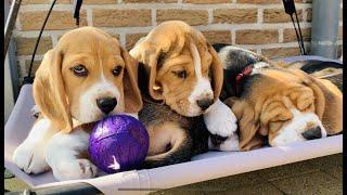 Beagle Puppies Growing up : 1-8 weeks! SUPER CUTE!