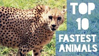 Top 10 Fastest Land Animals In The World | Cheetah Is the Fastest With 75 mph