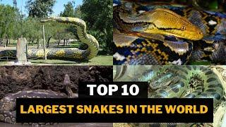 Top 10 Largest Snakes In The World | 10 Top Information
