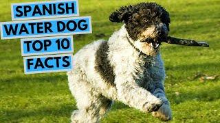 Spanish Water Dog - TOP 10 Interesting Facts