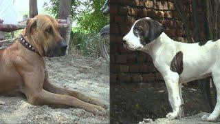 Best And Beautiful Big dog And Puppeis And Fighter Bully Dog All information This Dog BY NAFA TV HD