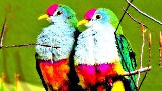 সবথেকে সুন্দর ১০টি কবুতর | 10 most Beautiful Exotic Pigeons on Earth | World Unique Amazing Pigeon