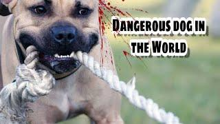 Top 10 Most Dangerous Dog Breeds in the World - Dog Market