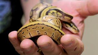 WHAT'S HAPPENING WITH MY BABY TWIN SNAKES?? | BRIAN BARCZYK