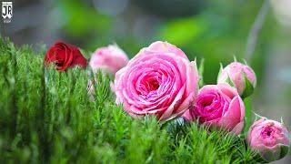 The rose garden || Mind Blowing rose Collection ||Top 10 roses in the world || 4K Rose garden