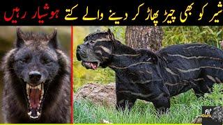 10 Most Dangerous Dog Breeds In The World - Most Expensive Dogs