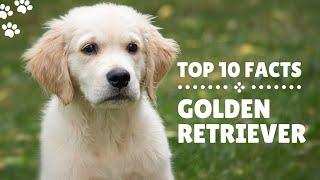 Top 10 Facts about Golden Retrievers | Dog Breed Information 2020