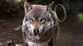 Top 10 Facts about Wolf | Interesting Facts About Wolves | Top 10 Famous Facts Of Wolf