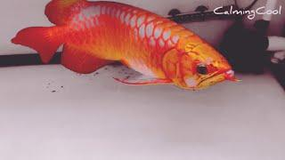 Best Top 10 Super Bright Colour Arowana Fish | Super Beautiful Arowana with great color