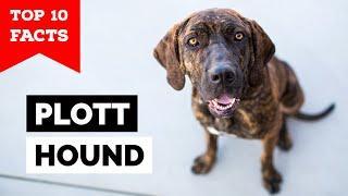 Plott Hound - Top 10 Facts