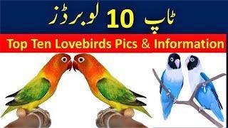 Top 10 Lovebirds Pics and Information   Birds Fantasy