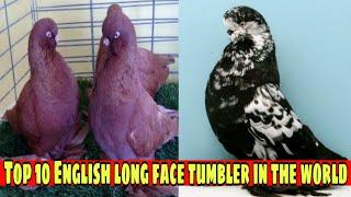 Top 10 english long face tumbler pigeons in the world|| English long face pigeon||