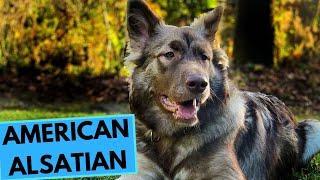 American Alsatian - Dire Wolf - TOP 10 Interesting Facts