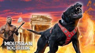 The 10 Alive Molossian Dog Breeds