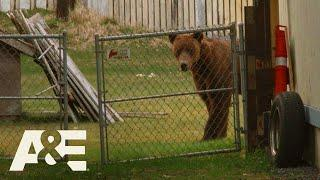 Alaska PD: Bear Removed by Kodiak Police (Season 1) | A&E