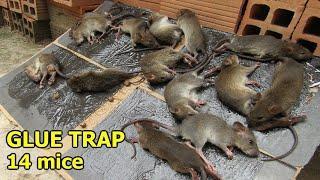 Top 5 Glue Trap - How To Make Mouse Trap Trap Work Saving Mice | Glue Trap