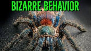 Top 10 WEIRD Tarantula Behaviors YOU Shouldn't Worry About!