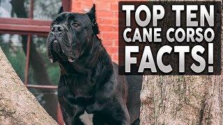 TOP 10 CANE CORSO FACTS! Why They're The Best Breed On The Planet!