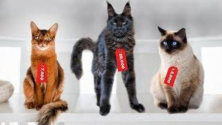 These Are 10 Most Expensive Cat Breeds