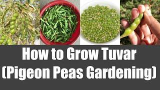 How to Grow Tuvar Toor (Pigeon Peas) Home Garden Video | Bhavna's Kitchen
