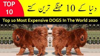 Top 10 Most Expensive Dog Breeds in the World 2020 | Tamasha TV