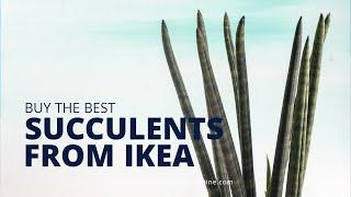 Tips for buying succulents at Ikea