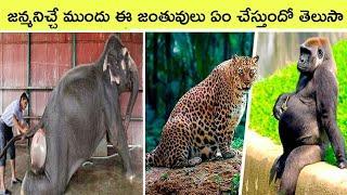 Top 10 amazing Animals  before giving birth | Bmc facts | Telugu