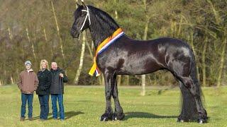 Top 10 Tallest Horses in the World