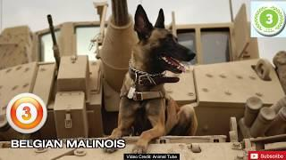 Top 10 Police Dog Breeds in the World in 2020 | Vicious Dog Breeds