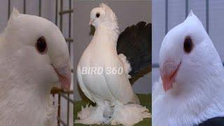 10 Different Types Of Fancy Pigeon Breeds | BEST and BIGGEST fancy pigeons breeds in the World