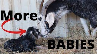It Happened Again! More Baby Goats!