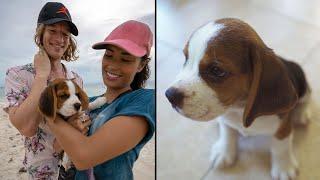 Cutest Puppy Beagle meets his new parents !!