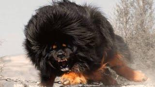 Top 10 dangerous dog in world with information  ..  dangerous dog breeds