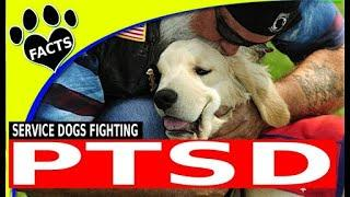 Service Dogs  PTSD Service Dogs Top Service Dog Breeds for People with PTSD   Animal Facts