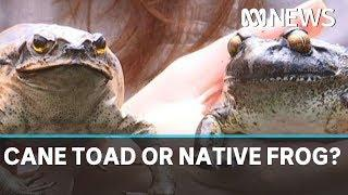 Native frogs are being confused for cane toads in fatal case of mistaken identity | ABC News