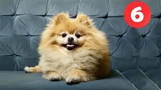 TOP 10 BEST SERVICE DOG BREEDS